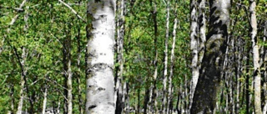 Wie Sie mit Xylit bzw. Baumsüsse gesünder und leistungsfähiger werden